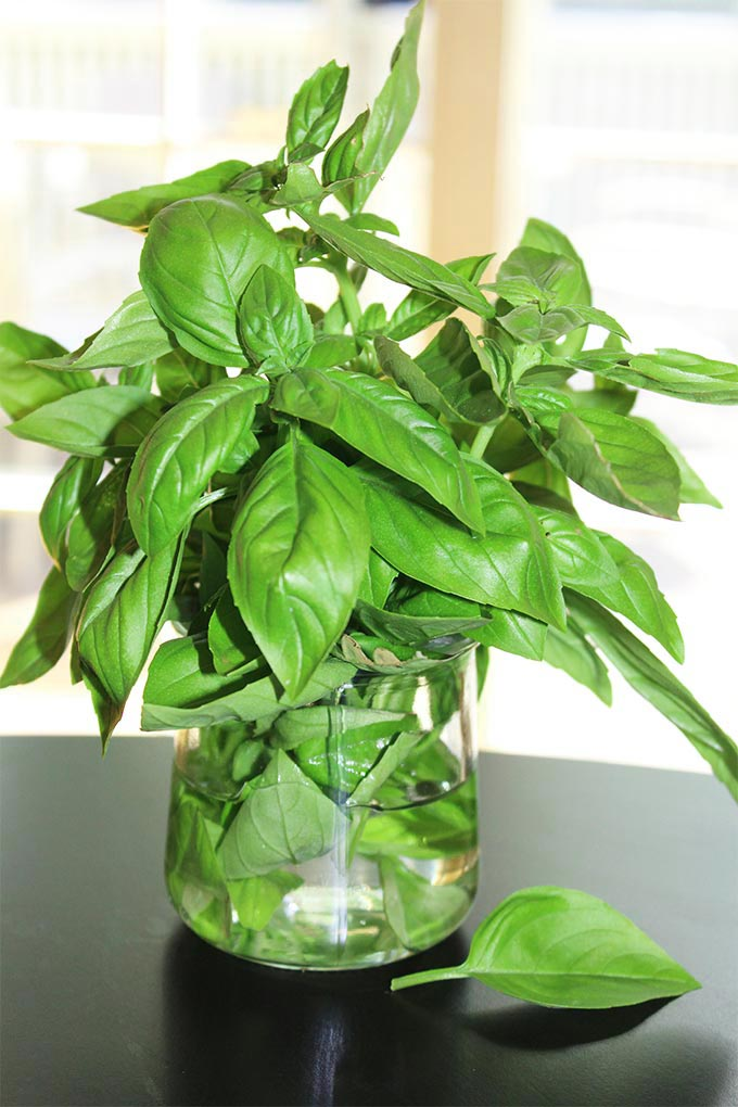 Great tips on how to store fresh basil from your garden or store bought fresh basil leaves!