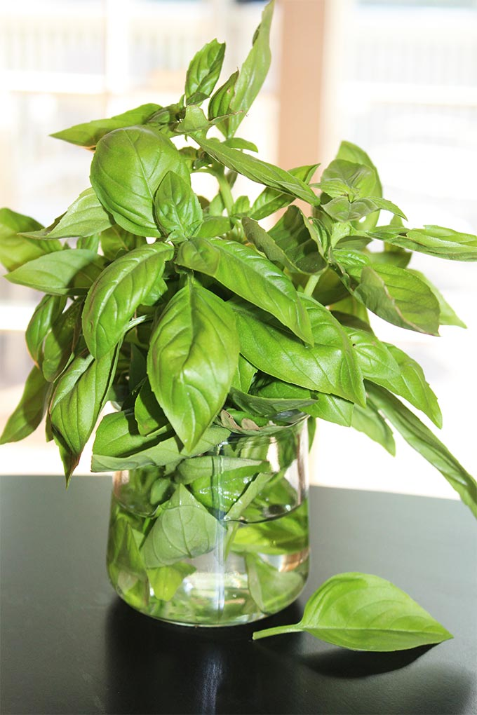 Great tips on how to store fresh basil from your garden store bought fresh basil leaves!