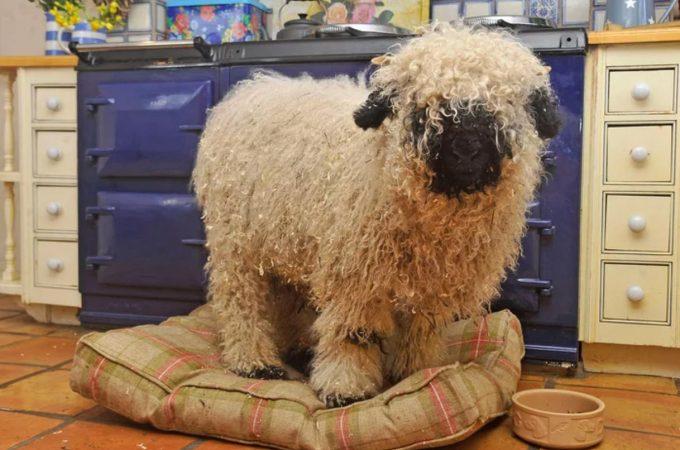 Sheep Marley things he's a dog
